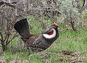 Breeding male dusky grouse (30749272762).jpg