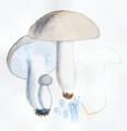Bresadola - Hygrophorus marzuolus.png