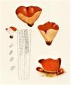 Bresadola - Peziza aurantia.png