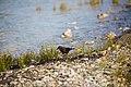 Brewer's blackbird (48114381816).jpg