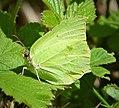 Brimstone - Flickr - gailhampshire (1).jpg