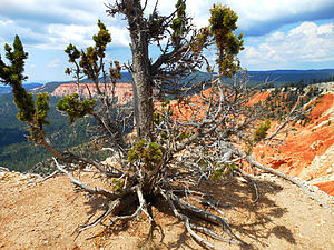 Bristlecone pine - A Great Basin bristlecone pine in Bryce Canyon National Park