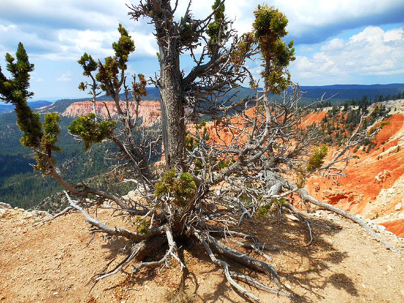 File:Bristlecone from Bryce Canyon.jpg