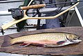 Brook trout, caught on Enchanted Pond, June 2007.jpg