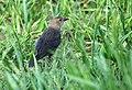Brown-headed Cowbird (4437578632).jpg