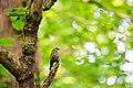 Brown-headed cowbird (34229056005).jpg