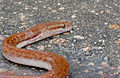 Brown House Snake (Lamprophis capensis) dead on the road ... (17351635055).jpg