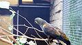 Brown Iory (Chalcopsitta duivenbodei) (3).jpg