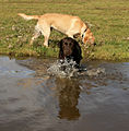 Brown and yellow lab at play in water (2929309195).jpg
