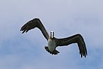 Brown pelican (Pelecanus occidentalis carolinensis) in flight.jpg