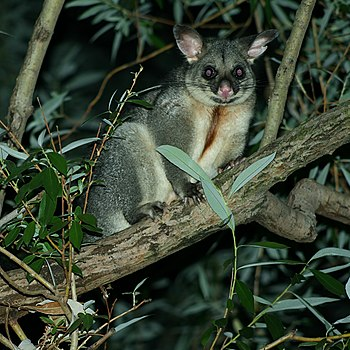English: Brushtail Possum (trichosurus vulpecu...