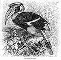 BucerosBicornisLyd.jpg