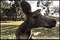 Buiobuione - kangaroo at kangaroos island.jpg