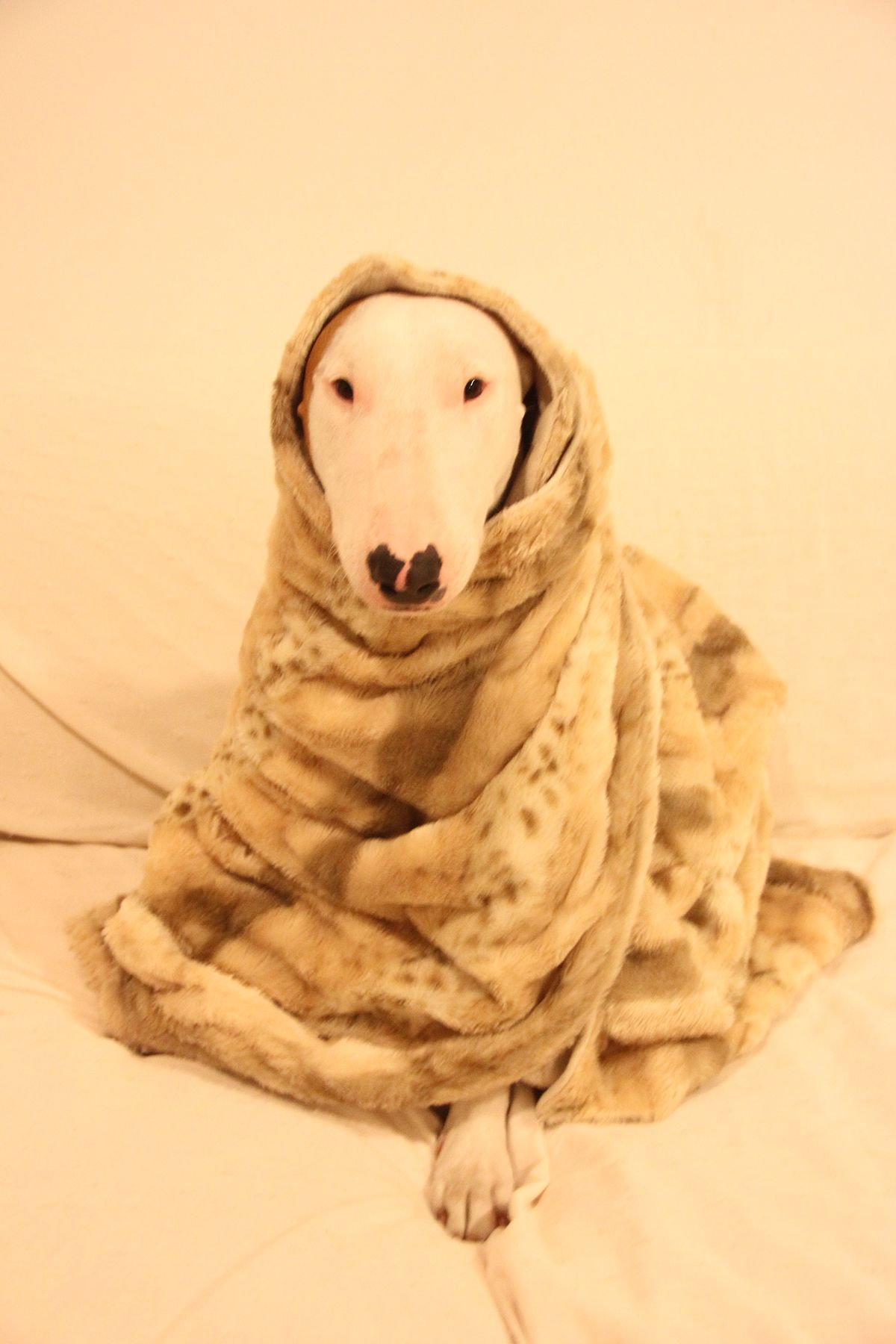 Bull terrier - Wikipedia, la enciclopedia libre