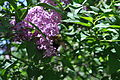 Bumble bee amongst the lilacs.jpg