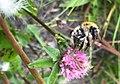 Bumblebees of Arkhangelsk and Novgorod Regions 03.jpg