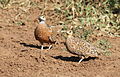 Burchell's sandgrouse, Pterocles burchelli, at Mapungubwe National Park, Limpopo, South Africa (17979526351).jpg