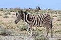 Burchell's zebra (Equus quagga burchellii).jpg