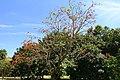 Butea monosperma - Fruit and Spice Park - Homestead, Florida - DSC09148.jpg