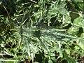 C. pycnocephalus-hojas-12.jpg