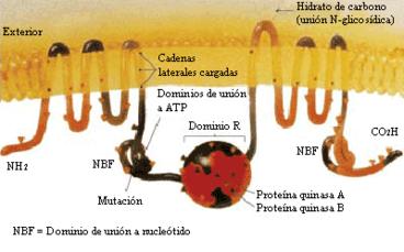 Proteína CFTR - estructura molecular de la proteína