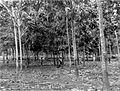 COLLECTIE TROPENMUSEUM Pas gewiedde jonge rubberaanplant op de rubberonderneming Sangkoenoer Oostkust van Sumatra TMnr 10012807.jpg