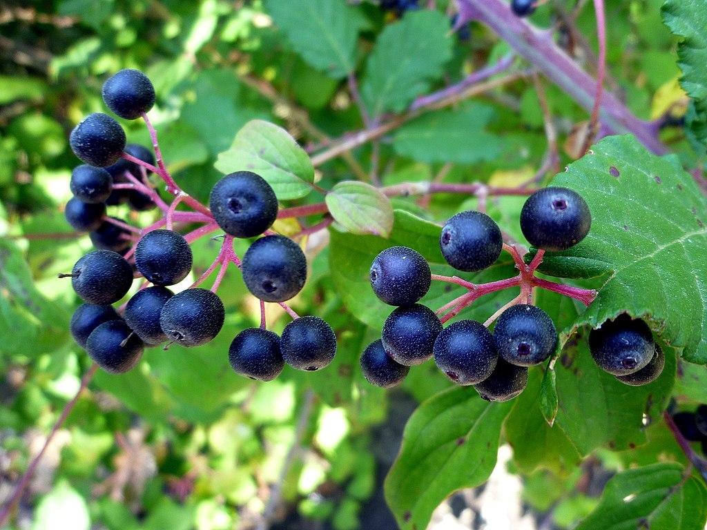 Svíb krvavý - plody