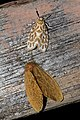 Cabarda sequems = Miltochrista sequens (Eribidae- Arctiinae- Lithosiini) and Toxoproctis anna (Erebidae- Lymantriinae- Nygmiini) (22465045267).jpg