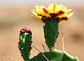 Cactus (Opuntia phaeacantha) flower.JPG