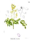 Caesalpinia crista Blanco1.150