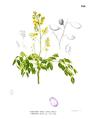 Caesalpinia crista Blanco1.150.png