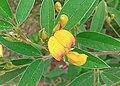 Cajanus cajan, flower 02.jpg