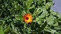 Calendula officinalis in Yerevan.jpg