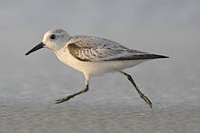 A small gray bird with a black shoulder runs on a beach to the left