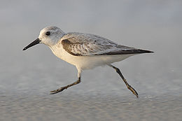 Smiltinukas (Calidris alba)