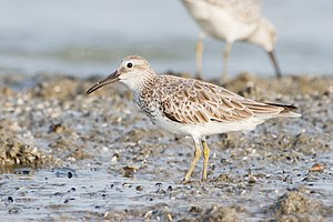 Great knot - Nonbreeding