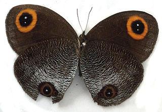 <i>Callerebia dibangensis</i>