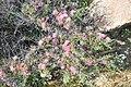 Calliandra chilensis Desierto Florido 2011 sector Quebradita 07.jpg