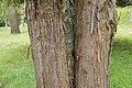 Callistemon pallidus in Hackfalls Arboretum (1).jpg