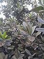 Calophyllum inophyllum (4).jpg