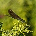 Calopteryx virgo 01(js), Lodz (Poland).jpg