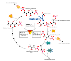 Overview of the Calvin cycle and carbon fixation