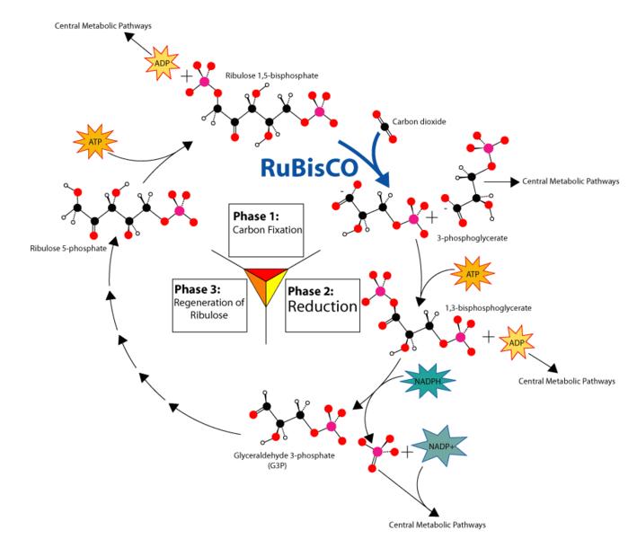 Describe the calvin cycle of photosynthesis