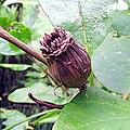 Calycanthus floridus (3).jpg