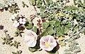 Calystegia soldanella, Matthiola, Medicago. Zahara. Spain (37498347380).jpg