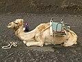 Camelus dromedarius - dromedary - Dromedar - dromadaire - Timanfaya national park - Lanzarote - 03.jpg