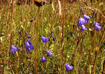 Campanula rotundifolia, the Scottish Bluebell