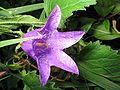 Campanula-trachelium(Bluete).jpg