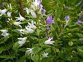 Campanula latifolia (7837937196).jpg