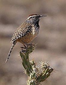 60576f215 The cactus wren is the state bird of Arizona.